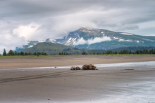 Mother Grizzly Bear And Two Cubs Sleeping On The Beach With A Beautiful Snow Cloud Covered Mountain And Pine Trees In The Background. Image Taken In Lake Clark National Park And Preserve, Alaska.