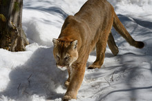 Cougar Walking On A Snowy Fore...