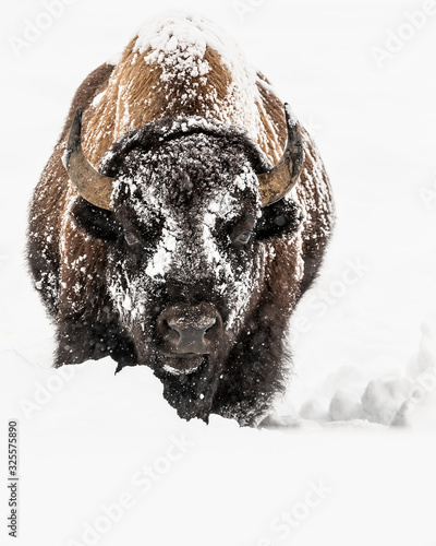 Valokuvatapetti Bison in Yellowstone Winter