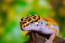 Leopard Gecko Lizard, Close Up...