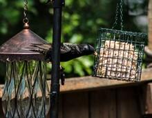 A Starling Getting Bird Food