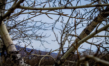 Gloomy Blue Sky With Mountains Through The Branches Of Trees. Late Autumn In The Forest. Large Poplars.