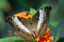 Close-up Of A Tropical Butterf...