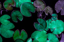 Closeup Beautiful Lotus Leaf In Pond, Purity Nature Background, Red Lotus Water Lily Blooming On Water Surface And Dark Blue Leaves Toned