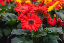 Red Gerbera Flowers In Bloom  Close Up At Floral Market