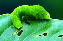 Green Caterpillar On A Branch