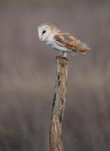 Wild Barn Owl On A Post