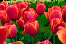 Red Tulip Beds With Fresh Gree...