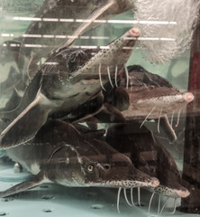 Sturgeon fish in the aquarium
