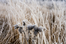 Hoarfrost Covered Seed Heads O...