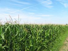 Corn Field Against Blue Sky An...