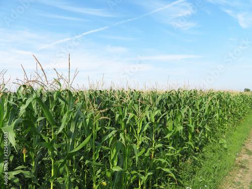 Fotografia Corn field against blue sky and white clouds
