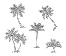 Palm Trees Sketch. Isolated Exotic Rainforest, Coconut Tree. Coast Or Beach Hand Drawn Flora, Black Engraving Botanical Vector Elements. Sketch Palm Tree, Tropical Flora, Branch Summer Illustration