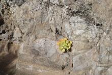 Sukkulente An Einer Felswand (...