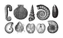 Shell Fossil Collection (Neoco...