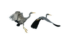 Pacific Reef Egret Flying Isolated On White Background