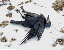 Dead Raven In The Fall. Shot Down Wild Bird. Snow. Texture Of Feathers, Dry Grass, Leaves. Image From The Game Of Thrones. Avian Influenza. Grippus Avium. Bird Flu