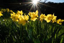 Daffodils Backlit In Woodland ...