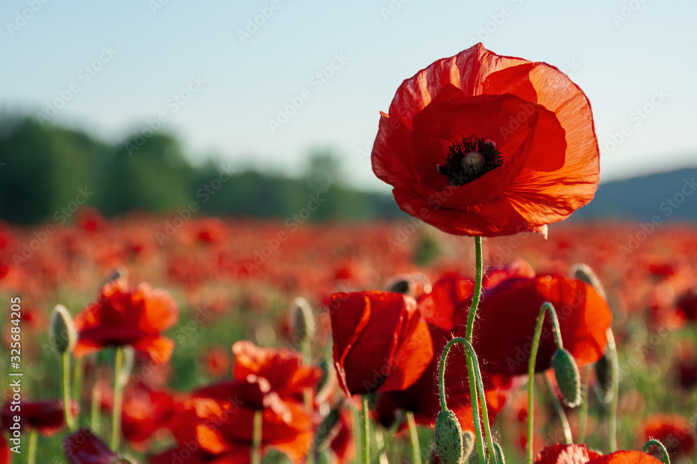 open bud of red poppy flower in the field. wonderful sunny afternoon weather of mountainous countryside. blurred background - obrazy, fototapety, plakaty