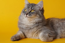 Gray Fluffy Playful Cat With Y...
