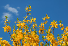 Yellow Forsythia Branches, Blooming In March And April
