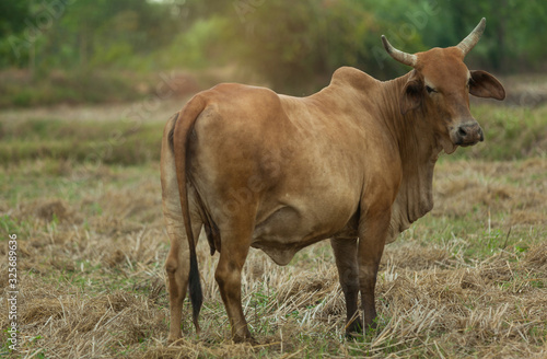 Photo A large brown cow stands in a dry, dry grassland.