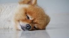 Cute Fat Pomeranian Dog Sleepi...