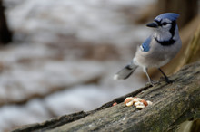 Blue Jay Sits On A Cedar Rail ...