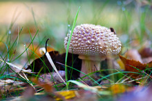 Closeup Of A Toadstool Mushroom