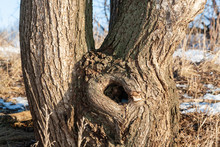 Hollow Of A Deciduous Tree, Close-up, On A Spring Day.