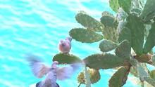 The Eurasian Collared Dove Mos...