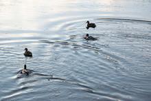Ducks In A Lake Swimming Away