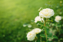 Wonderful White Rose Flower Bl...