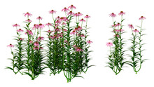 3D Rendering Cone Flowers On W...