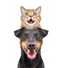 Portrait Of Funny Cat Scottish Straight On The Head Dog Breed Jagdterrier Isolated On White Background