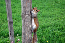 Curious Cute Red Squirrel Climbing The Tree.