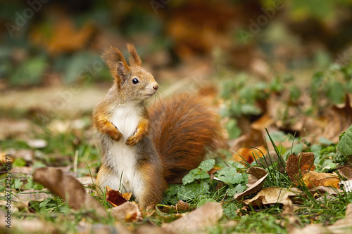 Adorable red squirrel, sciurus vulgaris, standing on the dry foliage Canvas Print