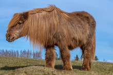 Very Old And Hairy Icelandic H...