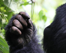 The Hand Of A Gorilla