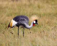 Gray-crowned Crane In Africa