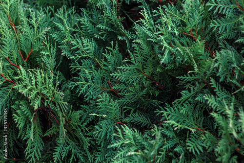 Fotomural cypress tree background texture