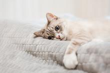 Tabby Cat Lying In A Soft Blan...