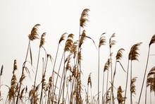 Dry Bulrush Against The Gray Sky