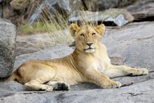 Lion Sitting On A Rock