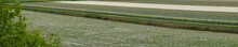 Sandy Lean Meadow In The Foreground, Diagonally Through The Picture Is A Moat.  Behind The Ditch Is A Field Of Daffodils.  One Stripe Is Blooming, Another Streak Has Faded. Out Of Focus A Bush