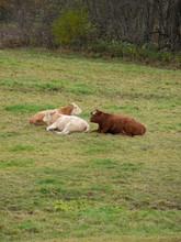 3 Cows Lying Down In Field