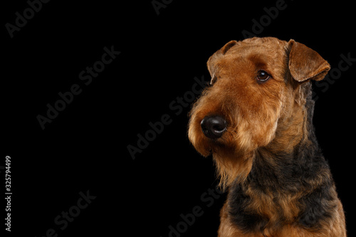 Closeup Portrait of Airedale Terrier Dog looking at side, on Isolated Black Back Canvas Print