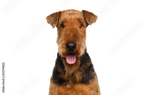 Closeup Portrait of Airedale Terrier Dog Happy looking at camera,on Isolated Whi Canvas Print