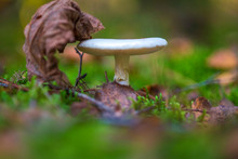 Edible Mushroom Russula Photographed Close-up In The Forest, Next To A Fallen Leaf.