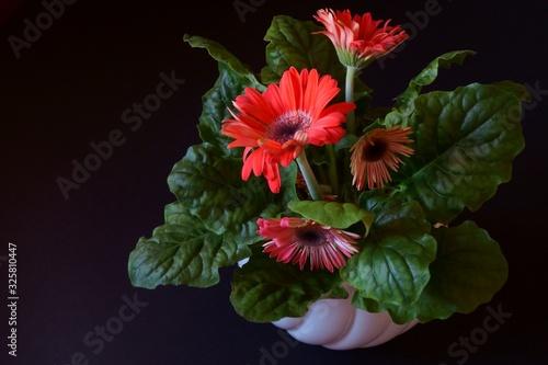 Beautiful red gerbera daisy flower  -  Barberton daisy, Transvaal daisy, Gerbera Canvas Print